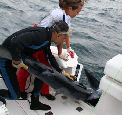 Tagging a blue shark with a PSAT PTT-100