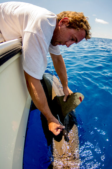 Tagging an oceanic whitetip shark with X-Tag