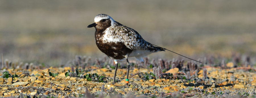 Banded Black-bellied Plover with PTT