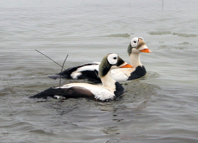 Spectacled Eiders with Implantable PTTs